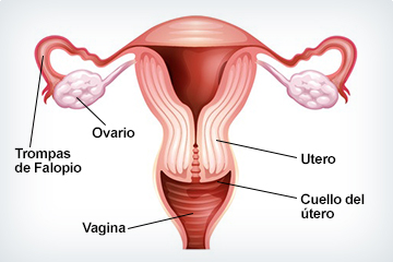 Diagrama del utero